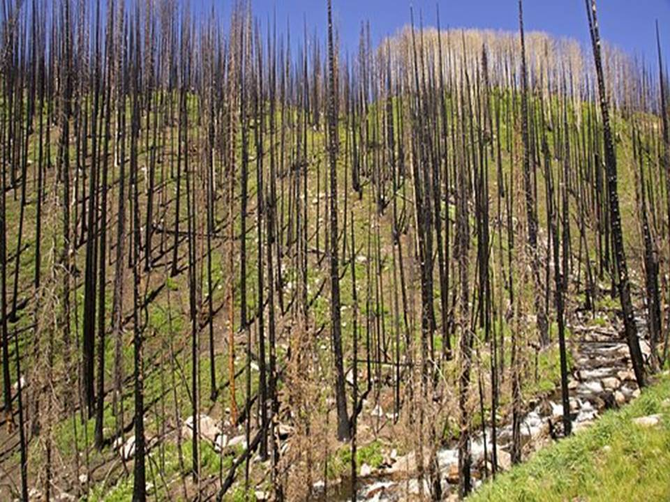 burnt trees on hillside